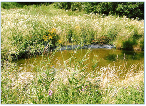 Reed bed and pond habitat