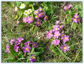 Primulas and primroses